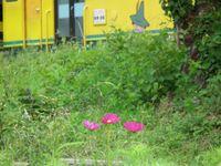 Isumi_moomin20110806_05