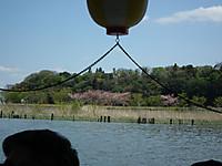 Sakura_tulip20130413_05