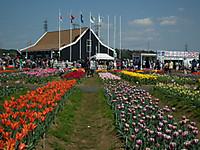 Sakura_tulip20130413_16