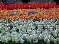 Sakura_tulip20130413_18