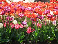 Sakura_tulip20130413_20