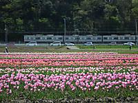 Sakura_tulip20130413_21