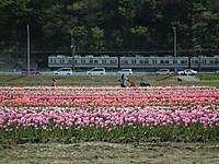 Sakura_tulip20130413_22