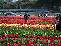 Sakura_tulip20130413_23