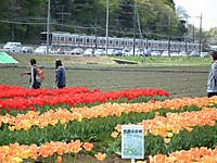 Sakura_tulip20130413_24