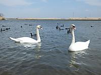 Sawara_duck20150329_16