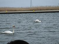 Sawara_duck20150329_35