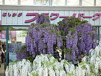 Asikaga20150502_16
