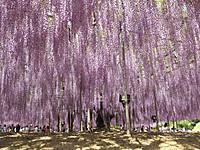 Asikaga20150502_26